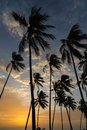 Coconut trees at sunset Royalty Free Stock Photo
