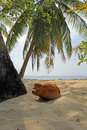 A coconut on the wonderful beach of the maldives Royalty Free Stock Photos