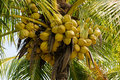 Coconuts on a coconut palm are growing Royalty Free Stock Photos