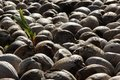 Coconuts a cononut sprouts in the middel of a heap on the island of rangiroa french polynesia Stock Photography