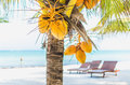 Coconuts on a palm tree against tropical white sandy beach hanging with lounges the background at exotic in the caribbean sea Royalty Free Stock Photos