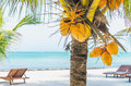 Coconuts on a palm tree against tropical white sandy beach hanging with lounges the background at exotic in the caribbean sea Royalty Free Stock Photo
