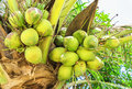 Coconuts on palm tree closeup view Stock Image