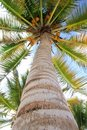 Coconuts palm tree perspective view from floor Royalty Free Stock Photo