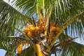 Coconuts on a palm tree seychelles Royalty Free Stock Photo