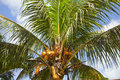 Coconuts on a palm tree seychelles Royalty Free Stock Images