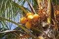 Coconuts on a palm tree seychelles Stock Images