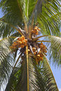 Coconuts on a palm tree seychelles Stock Photos