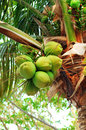 Coconuts on palm tree sweet tropical the palmtree Royalty Free Stock Images