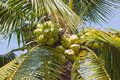 Coconuts tree Stock Photos