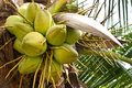 Coconuts on tree Royalty Free Stock Photo