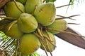 Coconuts on tree Stock Photos