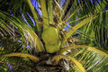 Coconuts In Tree Royalty Free Stock Photo
