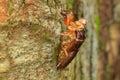Cocoon of cicada asia dead Stock Photos