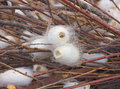 Cocoons of silkworm for silk making Stock Photography