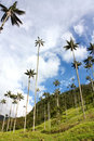 Cocora walley and wax palm Stock Images