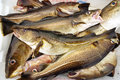 Cod fish fishing in norway fresh in boat container Stock Photos