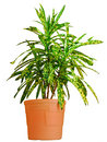 Codiaeum Royalty Free Stock Photos