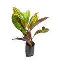 Codiaeum variegatum garden croton or variegated croton syn croton l Royalty Free Stock Photos