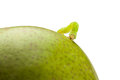 Codling moth caterpillar on pear macro of looper green isolated white Stock Photography