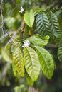 Coffe leaves tree with and white flowers close up Royalty Free Stock Image