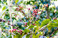 Coffe in natura growing from coffee tree plant branches Stock Image