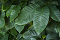 Coffea or coffee plant