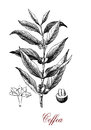 Coffea plant with coffee beans, botanical vintage engraving
