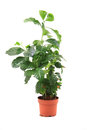 Coffea plant isolated