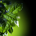 Coffee Arabica Plant Royalty Free Stock Photo