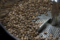 Coffee bean roasting roasted beans in the cooling cylinder of a roaster Royalty Free Stock Photos
