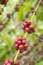 Coffee bean on tree Stock Photos