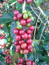 Coffee bean tree Royalty Free Stock Images