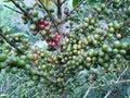 Coffee bean tree Royalty Free Stock Photos