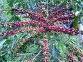 Coffee bean tree Stock Photography