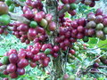 Coffee bean tree Royalty Free Stock Photos
