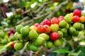 Coffee Beans, Boquete, Chiriqu...