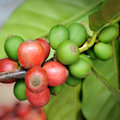 Coffee beans on plant Stock Photography