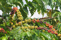 Coffee beans ripening on the tree Stock Image