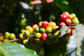 Coffee beans ripening on tree a branch of ripe and unripe berries Stock Photos