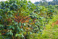 Coffee beans ripening on tree in farm Stock Images
