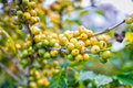 Coffee beans ripening on tree in farm Royalty Free Stock Image