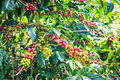Coffee beans ripening on tree in farm Stock Image