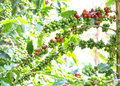 Coffee beans ripening on tree in north of thailand Royalty Free Stock Photo