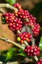 Coffee beans on a tree ripening Stock Photography