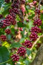 Coffee beans on a tree ripening Stock Photo