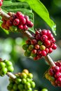 Coffee beans on a tree ripening Stock Image
