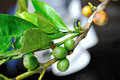 Coffee berries on a branch selective focus Stock Image