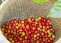 Coffee berries red in bamboo basket Royalty Free Stock Photo