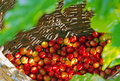 Coffee berries red in bamboo basket Stock Image